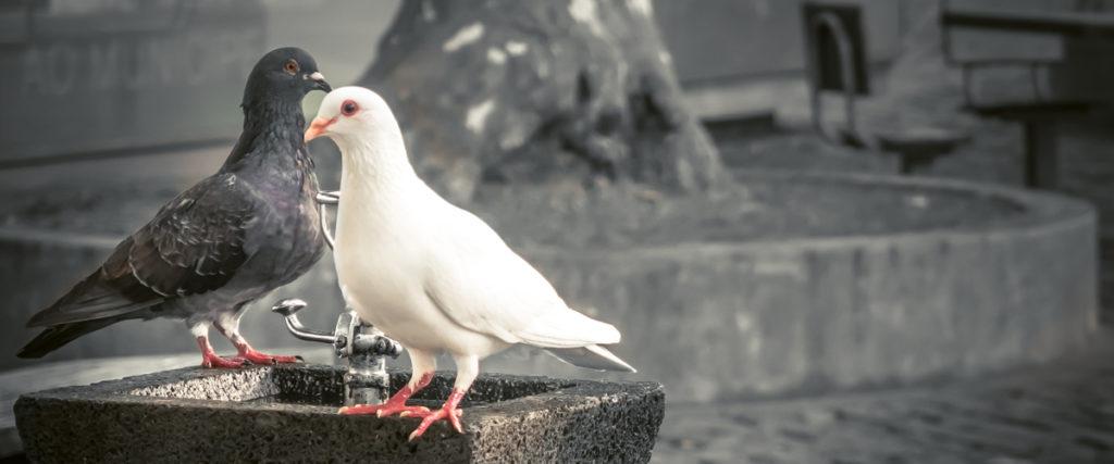 Graue und weiße Taube als Bild für eine Taubenplage