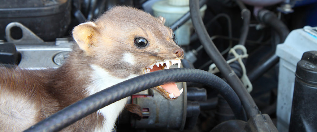 Marder beißt in Autokabel