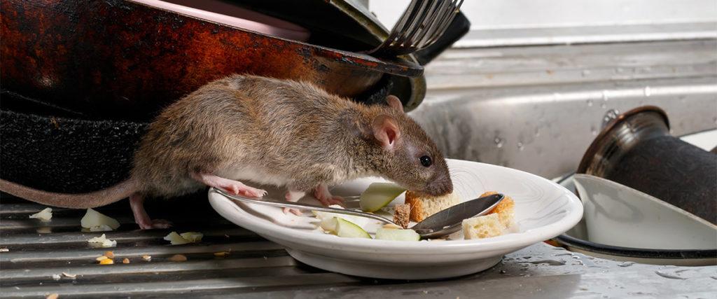 Maus frisst Essensreste von Teller als Symbol für Schadnager