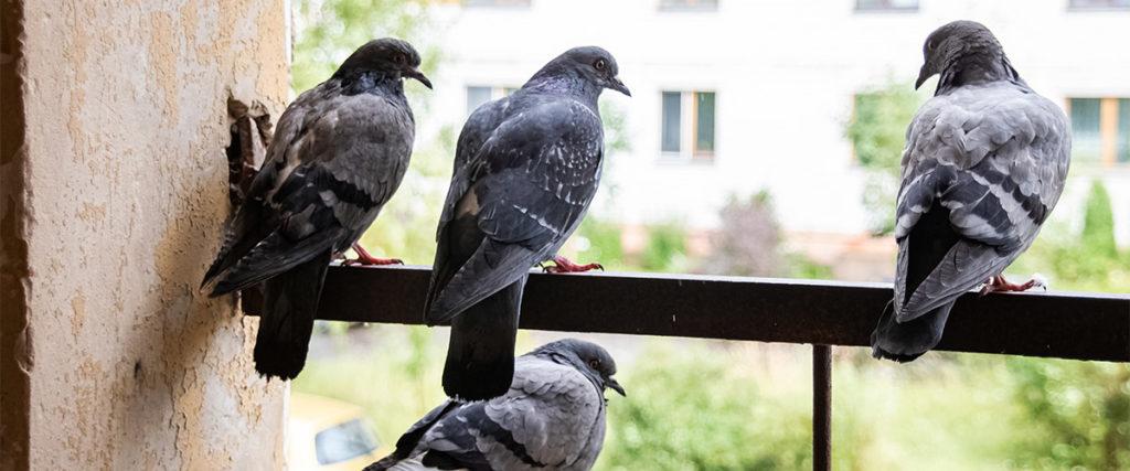 Tauben auf Balkon als Symbol für das ferhalten von Tauben vom Balkon